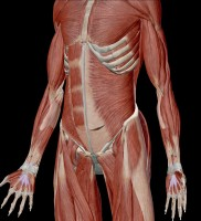 Transverse Abdominus muscle shown here after removing rectus and oblique abdominal muscles. Photo curtesy of Visible Body.
