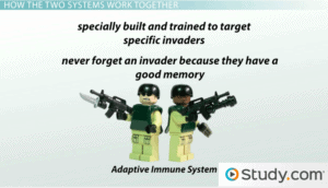 The adaptive immune system has special cells trained to target specific invaders. They never forget an invader because they have a good memory.