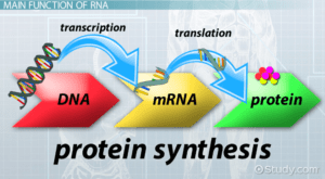 DNA is copied by mRNA and then moves outside the nucleus to begin the process required to create proteins.
