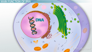 Cross section of a cell with DNA shown in the nucleus.