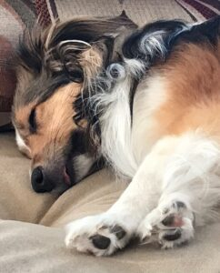 Vesper the sheltie naps demonstrating the average human's reaction to reading research studies.