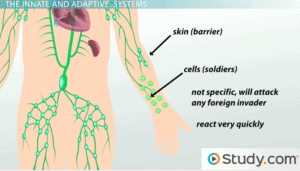 The innate immune system includes skin as a barrier and special cells that react quickly to kill invaders.