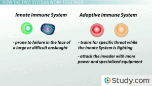 Innate immune system is prone to failure in the face of a large or difficult onslaught. The adaptive Immune system trains for specific threat while the innate system is fighting. It then attacks the invader with more power and specialized equipment.